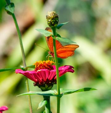 Zinia e suas borboletas - Urubici - Serra Catarinense