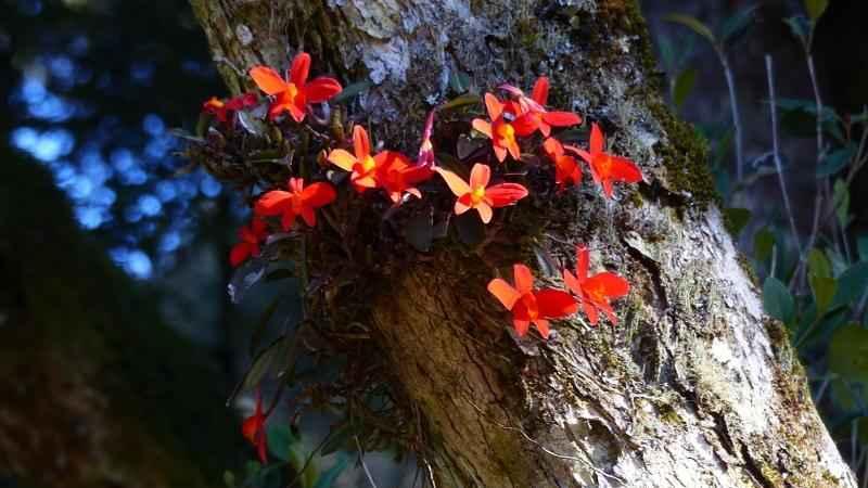 Orquídea Vermelha - Urubici - Serra Catarinense